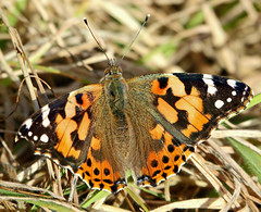 Still Around (Ger Bosma) Tags: paintedlady distelvlinder vanessacardui distelfalter vanesseduchardon vanessadelcardo vanesadeloscardos img22180