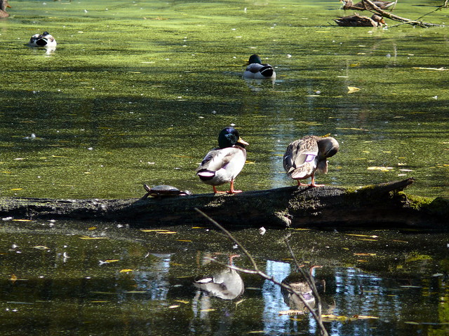 Ducks and Turtles at Blandford Nature Center