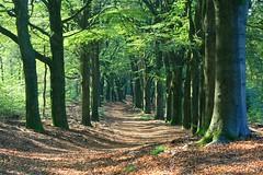 Beukenlaan Hoog-Buurlo (Karin & Rene) Tags: trees oktober netherlands forest bomen autum herfst lane bos beech veluwe apeldoorn laan gelderland beuken beukenlaan hoogbuurlo karinenrene2011