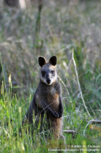 Swamp Wallaby Lysterfield Lake Park