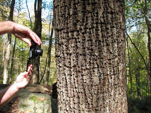 Dave shooting yellow-bellied sapsucker holes in basswood tree