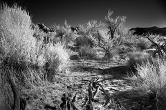 Paths ( Explored ) (-william) Tags: cool joshuatree infrared uncool cool5 cool3 cool6 cool4 uncool2 uncool3 uncool4 uncool5 iceboxcool cool2forpops