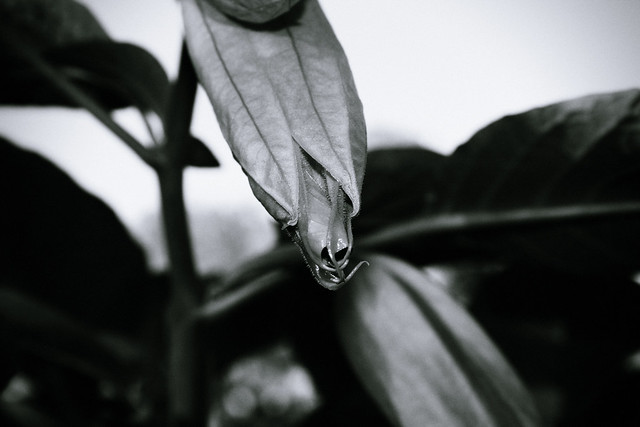 Angel's Trumpet Emerging from Pod