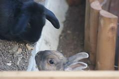 Mr Darcy and Annabelle (Bunningham Palace) Tags: bunnies rabbits deardiaryoctober