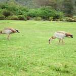 "Egyptian Geese <a style=""margin-left:10px; font-size:0.8em;"" href=""http://www.flickr.com/photos/14315427@N00/6269938091/"" target=""_blank"">@flickr</a>"