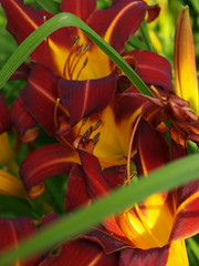 Daylilies from my garden. (tarelkaz) Tags: flowers red summer macro yellow garden flora daylily olympuse450 mygardenschool