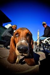 Snool King (*Brightburn*) Tags: dog canada nose photography nikon edmonton canine fisheye alberta bassethound flickrmeet waw 4452 wideanglewalk nikkor105mm128ged d7000 brightburn thebigfivetwo alisonpoole alisonpoolephotography