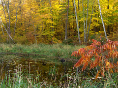 Straight Lake SP, WI - Pond below Lake Outlet Sumac and Maples_l1024sf (zuluadams) Tags: trees fall wisconsin pond october fallcolors sumac maples straightlakewildernessstatepark