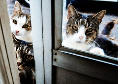 The Casual Drifters. (Hammonton Photography) Tags: door portrait cats pets animal animals shop photo eyes nikon october feline edited 4 oct kitty kittens kitties casual 1855mm visitors accept peeking picnik 2011 drifters circumstantial d5000 accept1 jessicadigiacomo hammontonphotography accept2 accept5 accept3