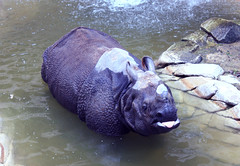 Silly Rhino