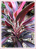Cordyline terminalis or C. fruticosa (pink/maroon/dark purple/white/green), at a garden nursery