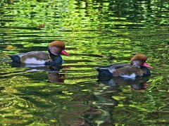 Red-crested pochards (Richard Beech (rdb75)) Tags: london nature canon wildlife ducks regentspark pochard redcrestedpochard richardbeech rdb75