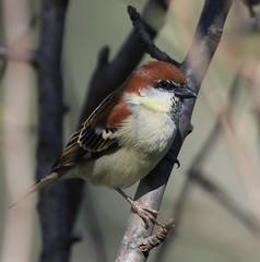 Mukteshwar (Roshan Kadaramandalagi K) Tags: india birds asia south north birding v sparrow russet passer kumar ramya rutilans uttarakhand roshank ramyavasist