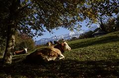 Savour The Moment (AincaArt) Tags: autumn light mountain berg schweiz switzerland licht kuh cow weide herbst meadow enjoy berneroberland berneseoberland geniessen mungga morgenberghorn nikond700 savourthemoment aincaart