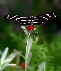 "Cincinnati - Eden Park ""Khron Conservatory Butterfly"" (David Paul Ohmer) Tags: park ohio flower nature butterfly downtown cincinnati edenpark conservatory eden khron"