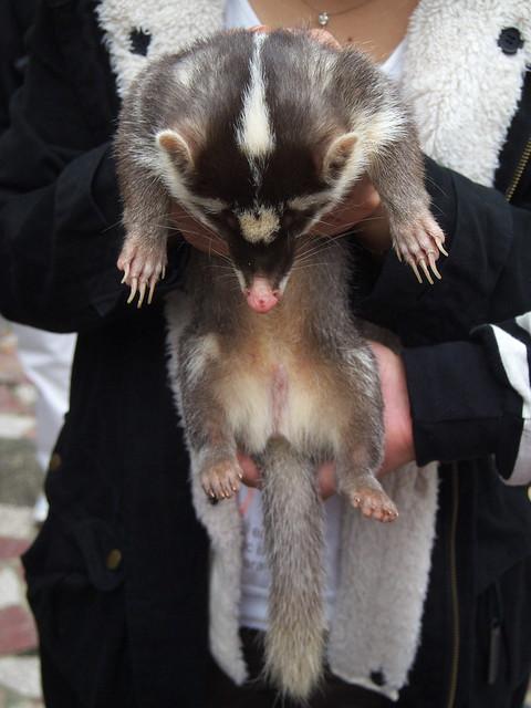 低頭接受馬殺雞服務的鼬獾