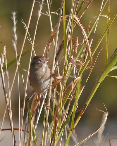 Field Sparrow Eating Grass Seeds - 1