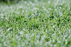 Morning Dew (Kaat dg) Tags: green nature grass nikon bokeh