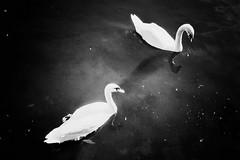 swans (.ultraviolett) Tags: