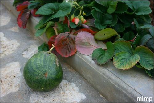 Fraises et pastèque