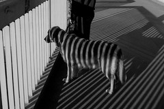 Zebra dog (Beijing...Beijing...) Tags: china street blackandwhite dog white black oneaday stripes beijing streetphotography zebra  365  ricoh   gx200 ricohgx200