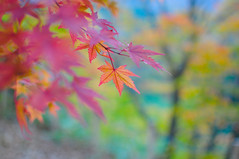 "autumn colors (""KIUKO"") Tags: autumn fall leave maple  takayama  gifu hida       okuhida  shinhodaka"