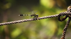 Dragon Fly : Lunch Time (Abrar Newaz) Tags: delete10 canon delete9 delete5 eos delete2 fly dragonfly delete6 delete7 delete8 delete3 delete delete4 save save2 delete11 delete12 1000d abrarnewaz