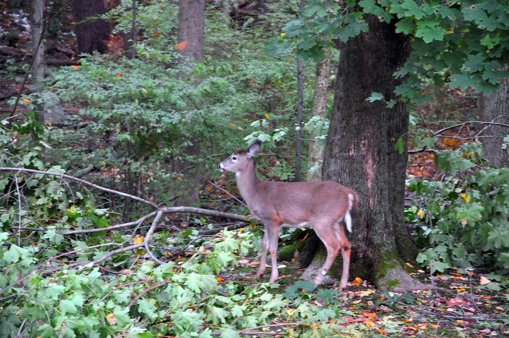 2011-11-02 - Deer in the Yard 006