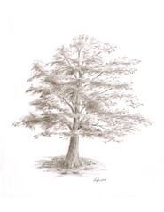 Black Oak (steven.powers.smp) Tags: pencildrawings treedrawings naturedrawings sketchdrawings naturecanvasprints treecanvasprints pencilcanvasprints sketchcanvasprints pinedrawings pinecanvasprints