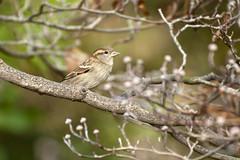 (MoeDW) Tags: bird nature animal outdoors nikon wildlife sparrow d90