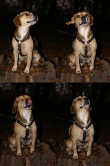 (anirbas_84) Tags: autumn dog fall beagle herbst natur hund wald mops puggle ammerland wildenloh