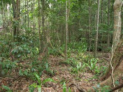 Cooloola Rainforest on Sand Understorey (plant.nerd) Tags: sandy great np cooloola