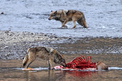 Waiting your turn (Ross Forsyth - tigerfastimagery) Tags: usa nature animals america wolf kill wildlife free canine meat pack yellowstonenationalpark elk predator carcass wolves usnationalparks lamars lamarvalley lamarcanyonpack