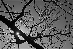 Star (Nelson Webb) Tags: blackandwhite bw sun star frost branches roadtrip alberta intothesun coldmorning frostybranches