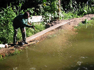 Feeding fish in aquaculture pond in Cameroon. Photo by Randall Brummett, 2004