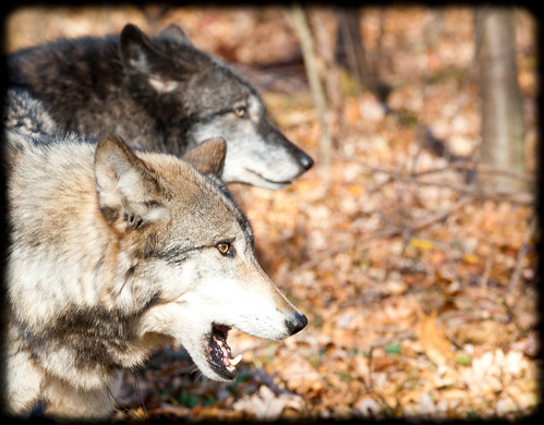 Lakota Wolves-Timber Wolves by gunnarkelly