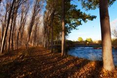 Los arboles se desnudan (64º EXPLORE - 16-11-2011) (Jose Casielles) Tags: color luz sol río hojas agua arboles otoño sombras yecla arboleda chopos fotografíasjcasielles