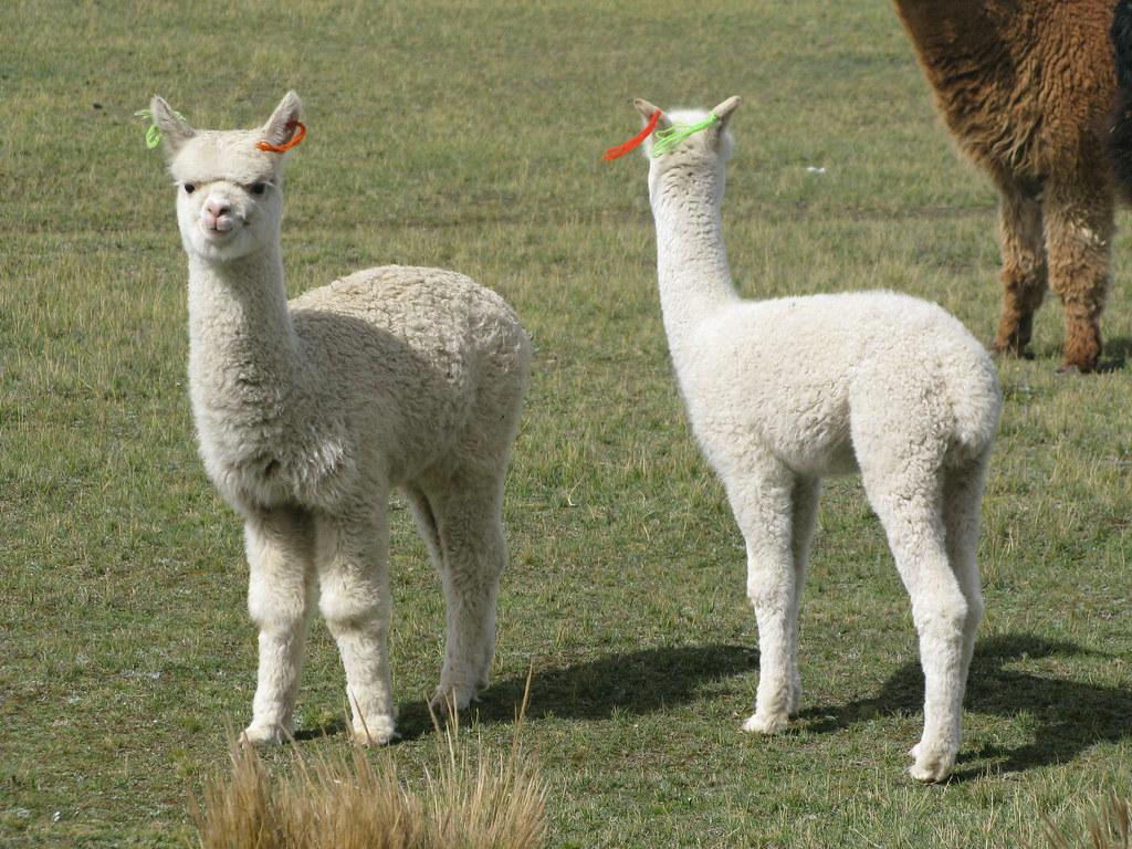alpacas bebes