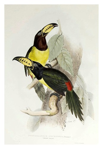 009- Araçari letrado-A monograph of the Ramphastidae or family of Toucans-1834- John Gould