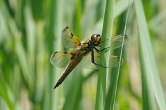 Libéllule (Spiterman) Tags: macro insect pentax dragonfly tamron 90mm libelle 90 reproduction libélula insecte libellule libellula kx fauve fulva стрекоза libéllule accouplement odonates spiterman