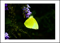 Butterfly on flowers (e.nhan) Tags: flowers light black flower art nature leaves yellow closeup butterfly leaf spring colours shadows dof bokeh butterflies backlighting enhan