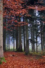 swiss fall (adlin) Tags: fall colors forest schweiz switzerland nebel herbst foggy luzern lucerne wald coloredleafes