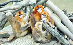 황금원숭이 (에버랜드 (withEverland)) Tags: 대한민국 에버랜드 겨울 사육사 동물원 용인 사자 놀이공원 알락꼬리여우원숭이 황금원숭이 코아티 검진 겨울나기