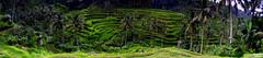 ubud ricefield panorama (Teo Morabito) Tags: bali panorama green field rice ubud