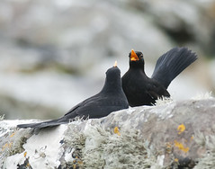 Blackbird Willy Waving Competition (Crieffy.) Tags: blackbird shetland boddam wwwjohnmoncrieffphotographycom crieffy johnmoncrieff