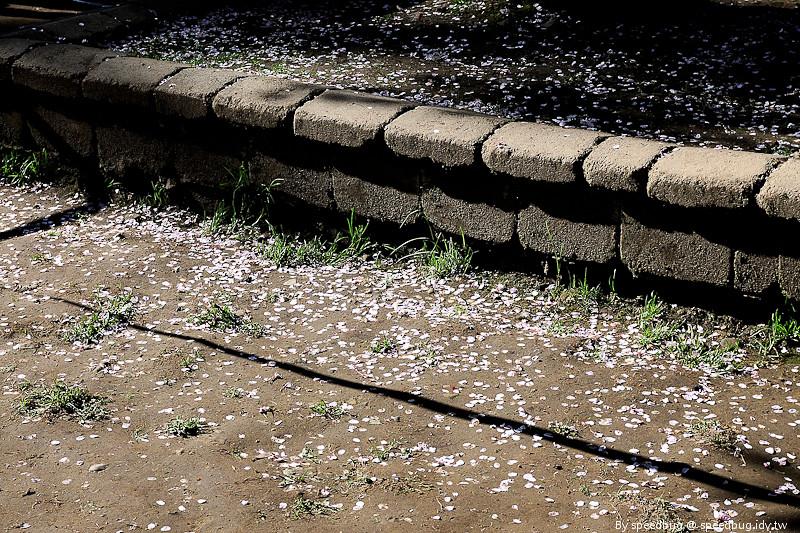 阿里山櫻花季76