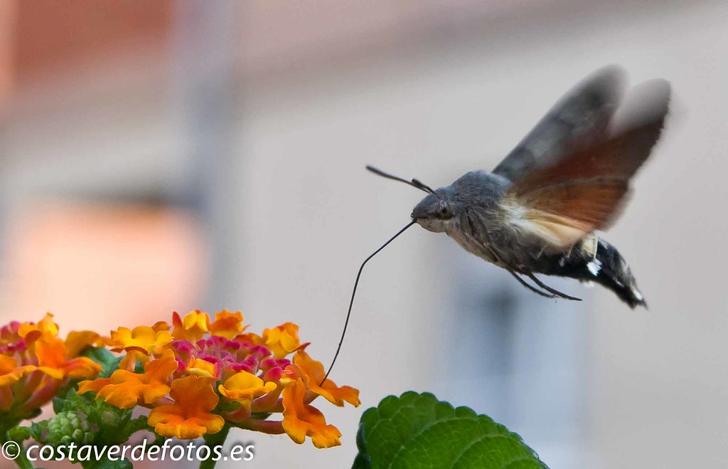 Macroglossum stellatarum  (58 of 128).jpg