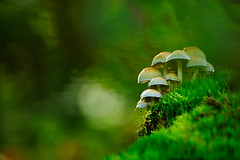 The little folk in the forest II (flowerpics09) Tags: autumn light oktober macro green nature mushroom colors forest licht buchenwald day bokeh grn farben pilz mecklenburg farbrausch