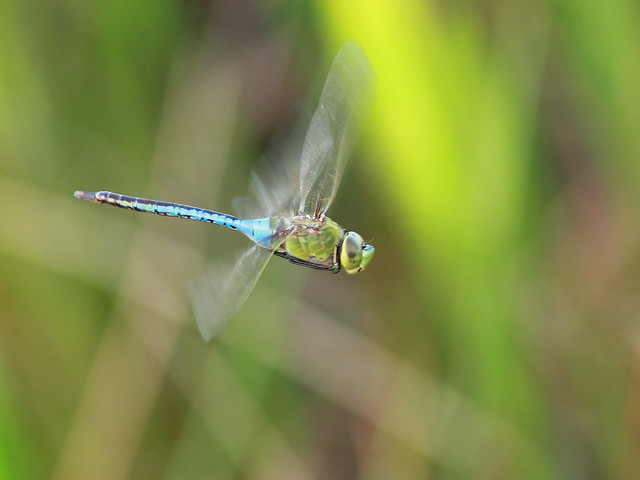 Green Darner Dragonfly - Anax junius