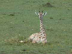 baby giraffe, Masai Mara (Carlos Affonso) Tags: africa kenya safari masai maasai savanna masaimara maasaimara savana qunia